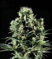 Himalaya Gold Marijuana Strain