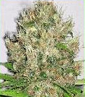 Himalayan Monter    Marijuana Strain