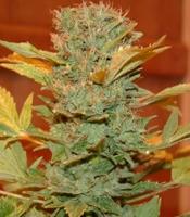 Hindu Kush Special  Marijuana Strain