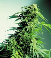 Hindu Kush x Hindu Kus Marijuana Strain