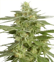 Hollands Hope   Marijuana Strain