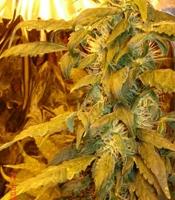 Jock Horror  Marijuana Strain
