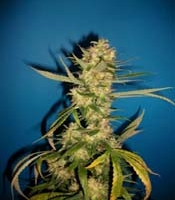 Juan Herer Marijuana Strain