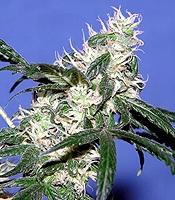 Justice  Marijuana Strain