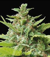 Kiss Dragon Marijuana Strain
