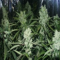 Orange Pineapple  Marijuana Strain