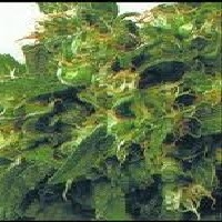 Original Highway Delight Marijuana Strain