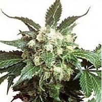 Ortega Marijuana Strain
