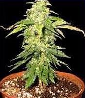 Little Red Ryder Hood  Marijuana Strain