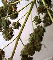 Little Russian  Marijuana Strain