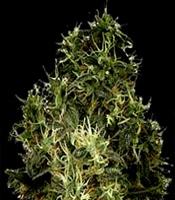 Lock Stock Marijuana Strain