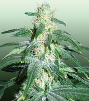 Love Cheese Marijuana Strain