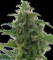 Low Diesel  Marijuana Strain