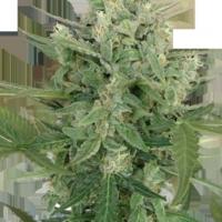 Low Dwarf  Marijuana Strain