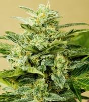 Low Girl  Marijuana Strain