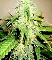 LowMaster Marijuana Strain
