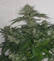 Lukrezia Borgia  Marijuana Strain