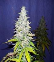 LUI 13 (Legends Ultimate Indica 13) Marijuana Strain