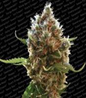 Lucid Bolt  Marijuana Strain