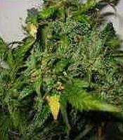 Lowryder Mint  Marijuana Strain