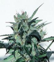 Lowryder F1  Marijuana Strain
