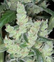 Marley&#39s Cheese Marijuana Strain