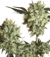 Marley&#39s Collie Marijuana Strain