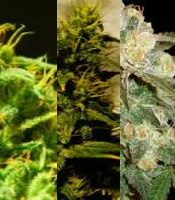 Marmalate  Marijuana Strain