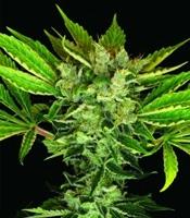 Martian Kush Marijuana Strain