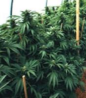 Mastadon Kush Marijuana Strain