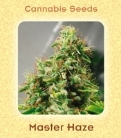 Master Haze Marijuana Strain