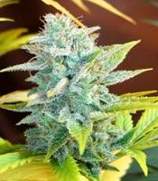 Master Kush x Skunk Marijuana Strain
