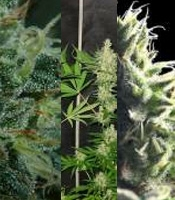 Mataro Blue Marijuana Strain