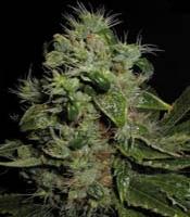 Mazari Marijuana Strain