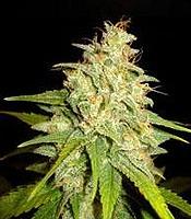 Mazar x White Rhino Marijuana Strain