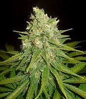 Mazar x Great White Shark Marijuana Strain