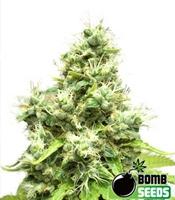 Medi Bomb 1  Marijuana Strain