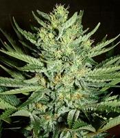 Medicine Man Marijuana Strain