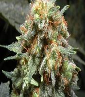 Medijuana Marijuana Strain