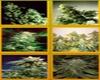 Mega Mix Marijuana Strain