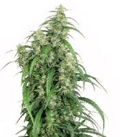 Mekong High Marijuana Strain