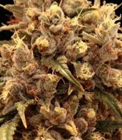 Mendo Grape Kush Marijuana Strain