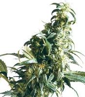 Mexican Sativa Marijuana Strain