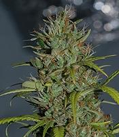 Mextiza Marijuana Strain