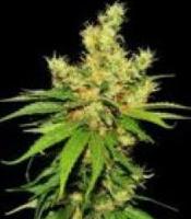 Michelle Moist Marijuana Strain