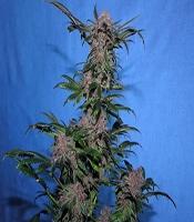 Midnight Marijuana Strain