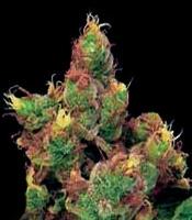 Midnight Kush Marijuana Strain