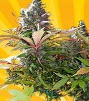 Mighty grape Marijuana Strain