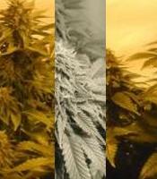 Milky-Way Marijuana Strain