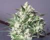 Millennium Bud  Marijuana Strain